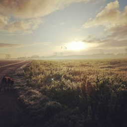 An early morning walk is a blessing for the whole day #Frodo #vizla #geese #naturelovers #peaceandquiet #igbeernem